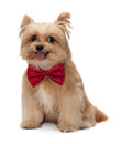 Dog get afriad cute mixed breed with red bow tie getting isolated in white background with clipping path Royalty Free Stock Photo