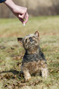 Dog getting a treat waiting to get it s Royalty Free Stock Images