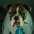 Dog in glasses on office a blue brindle olde english bulldog a normal working day the with tie and shirt Royalty Free Stock Photos