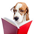 Dog in glasses reads the red book Royalty Free Stock Photo