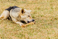 Dog gnawing on a bone in the Grass. Royalty Free Stock Photo