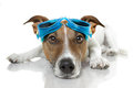 Dog goggles Stock Photography