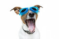 Dog goggles Royalty Free Stock Image