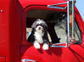 Dog with goggles a small black and white in a red truck red on Stock Photo