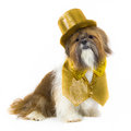 Dog in a Gold Party Outfit Royalty Free Stock Photo