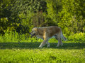 Dog / Golden Retriever Walking In The Park Stock Images