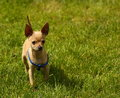 Dog on a grass baby pinscher walking outside green in park Royalty Free Stock Photography