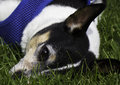 Dog in the grass rat terrier lying on a sunny day Stock Image