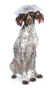 Dog grooming german shorthaired pointer at the beauty salon isolated on white background Royalty Free Stock Photos