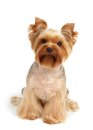Dog after grooming one yorkshire terrier haircut and sits on white background Stock Photos
