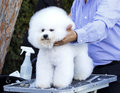 Dog grooming a small beautiful and adorable white bichon frise being groomed by a professional groomer using special products and Stock Photos