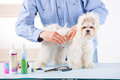 Dog grooming smiling man a purebreed maltese with scissors Royalty Free Stock Photo