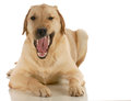 Dog growling looking at viewer isolated on white background Stock Images