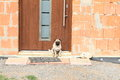 Dog guarding door small boxer closed of a house being constructed Royalty Free Stock Photos