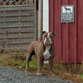 Dog guarding the house old english bulldogg and talking about poster how fast he is Stock Image