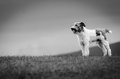 Dog guarding sheep in a meadow Royalty Free Stock Photo
