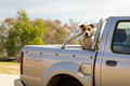 Dog gurading a truck guarding or ute sitting in the back Stock Image