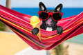Dog on hammock and ice cream Royalty Free Stock Photo