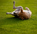 Dog happy rolls and turns on the green grass Stock Photo