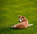 Dog happy rolls and turns on the green grass Royalty Free Stock Photography