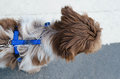 Dog with a harness leash out walking Royalty Free Stock Photos