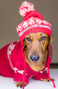 Dog in hat and sweater Stock Images