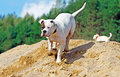 Dog having fun running on heap of sand Royalty Free Stock Image