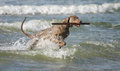 Dog having fun in the water young active is sea retrieving a big stick from summer holidays with a pet Stock Image