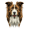Dog head breed border collie
