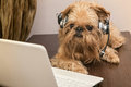 Dog in the headphones with microphone breed griffon bruxellois sits near laptop Royalty Free Stock Photo