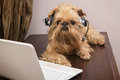 Dog in the headphones with microphone breed griffon bruxellois sits near laptop Royalty Free Stock Image