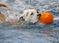 Dog with her ball in the pool Royalty Free Stock Photo