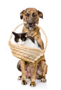 Dog holding in its mouth basket with a cat. isolated on white Royalty Free Stock Photo