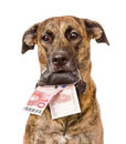 Dog holding a purse with money in its mouth. isolated