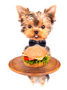 Dog holding service tray with food hamburger Stock Photos