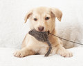 Dog holding a stuffed toy puppy in his mouth Royalty Free Stock Image