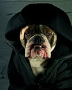Dog hulligan an angry olde english bulldog with jacket Stock Photography