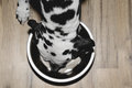 Dog is hungry and eat from the bowl Royalty Free Stock Photo