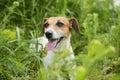 Dog hunting Royalty Free Stock Photo