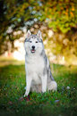 Dog husky sits and looks at the camera Royalty Free Stock Image