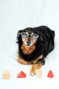 Dog iq test one old female black doing an Royalty Free Stock Images
