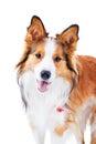 Dog isolated on white, border collie, portrait Stock Photo