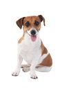 Dog Jack Russell terrier Royalty Free Stock Photo