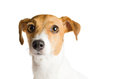 Dog jack russell terrier on white background young with wide open eyes isolated Stock Photography