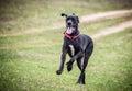 Dog jump up while running Royalty Free Stock Photo