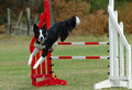 Dog jumping hurdle Royalty Free Stock Photo
