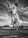Dog jumping over fence closeup portrait of a in midair a wooden on agricultural land Royalty Free Stock Photography