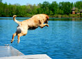 Dog Jumps from Platform Dock into Water Stock Images