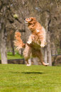 Dog Jumps To Catch Ball Royalty Free Stock Image