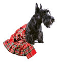 Dog in kilt scotch terrier a red classical sitting on a white background Royalty Free Stock Photos